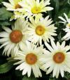 Leucanthemum 'BROADWAY LIGHTS'® - kopretina
