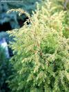 Juniperus communis 'Gold Cone' - jalovec obecný