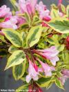 Weigela 'Magical Rainbow'® - vajgélie