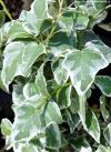 Hedera helix 'Little Diamond' - břečťan obecný