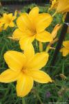Hemerocallis 'Cartwheels' - denivka