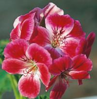 Pelargonium 'Paton's Unique' - pelargonie (READERS DIGEST VÝBĚR)