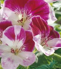 Pelargonium 'Captain Starlight' - pelargonie (READERS DIGEST VÝBĚR)