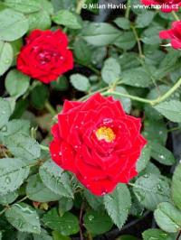 Rosa 'Dark Red' - růže