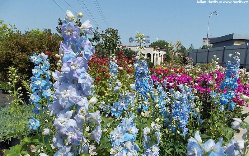 Delphinium 'Light Blue with White Bee' - ostrožka, stračka