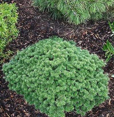 Abies koreana 'Tundra' - dwarf Korean fir