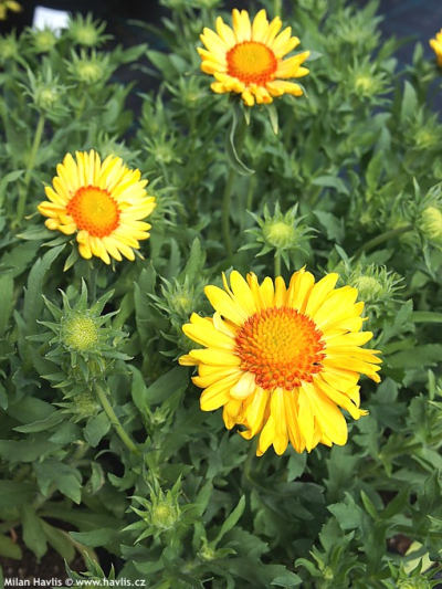 Gaillardia aristata 'Sunburst Orange' - kokarda