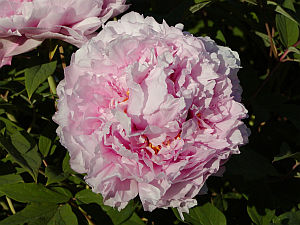 http://www.zahrada-cs.com/images_data/1618_paeonia_2.jpg