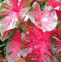 Caladium bicolor 'Florida Cardinal' - Fancy-leafed Caladium