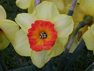 Narcissus Border Beauty - narcis