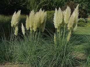 2540-cortaderia-selloana-pampas-1.jpg