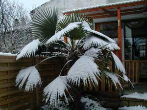 3293-trachycarpus-fortunei-zumara-ztepila-2.jpg