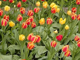 Kdy zasadit tulipány