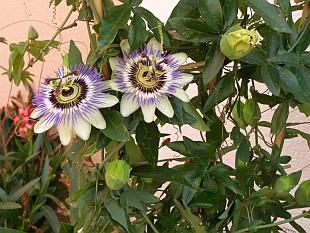 3747-passiflora-mucenka-1.jpg