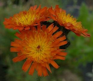 4851-hieracium-aurantiacum.jpg