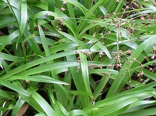Rostliny připomínající trávy luzula sylvatica bika lesní