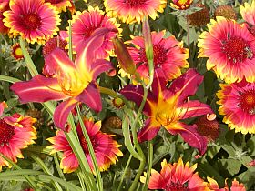 Denivka Hemerocallis Sammy Russel