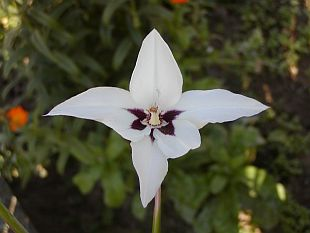 Acidanthera bicolor - acidantera