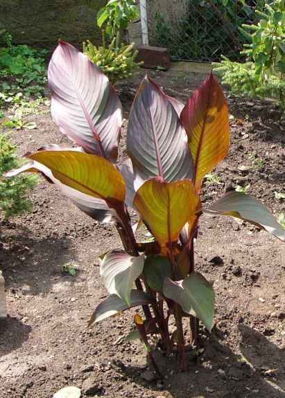 http://www.zahrada-cs.com/images_forum/163-canna.jpg