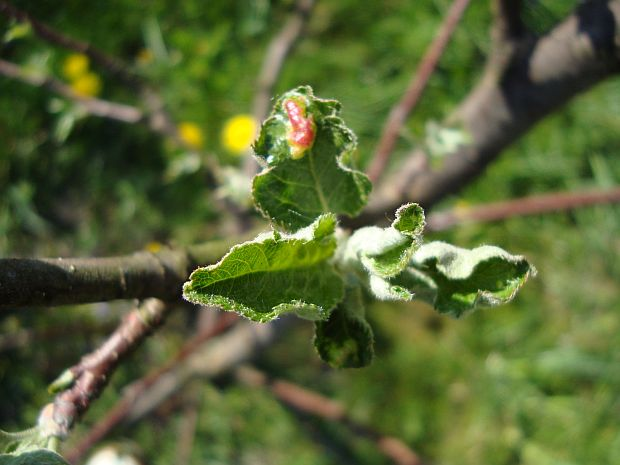 http://www.zahrada-cs.com/images_forum/465-ochorenie-jabloni-3.jpg