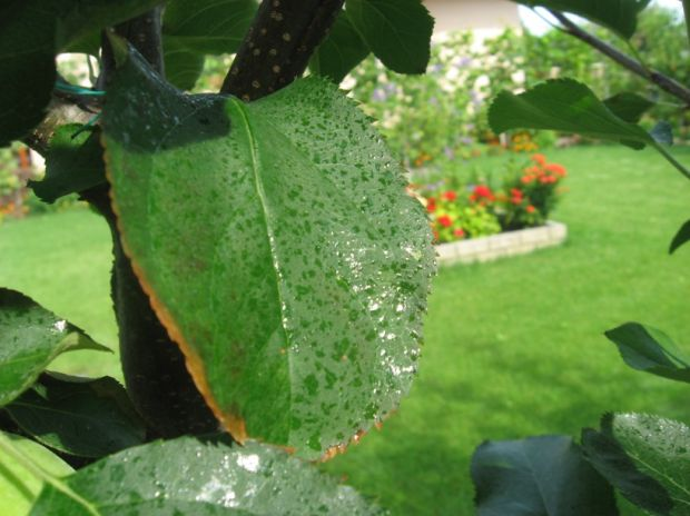 http://www.zahrada-cs.com/images_forum/629-jablon-spalene-listy-1.jpg