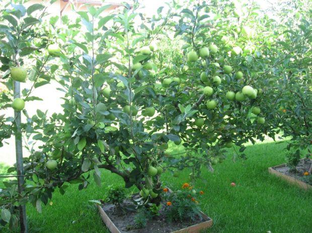 http://www.zahrada-cs.com/images_forum/629-jablon-spalene-listy-2.jpg