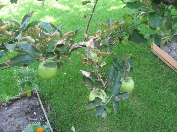 http://www.zahrada-cs.com/images_forum/629-jablon-spalene-listy-3.jpg