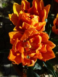 Tulipán 'Orange Princess'