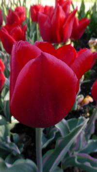 Tulipán 'Christmas Design'