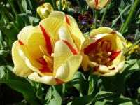 Tulipán 'World Expression'