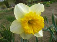 Narcis 'Curly'
