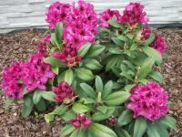Rododendron Madam Fortier