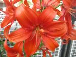 Lilie Flying Wing - Asijský hybrid