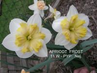 Narcis Apricot Frost - Papillon narcisy
