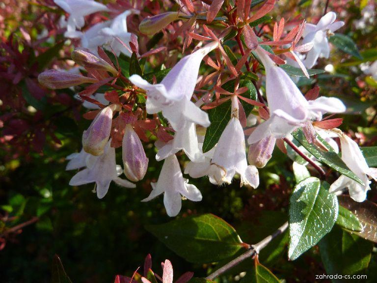Abélie - květ (Abelia)