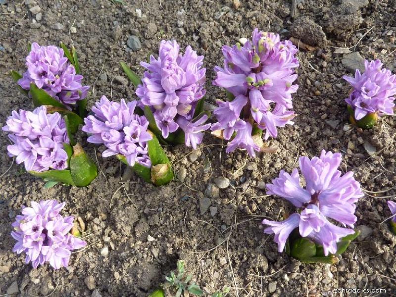 Hyacint východní Splendid Cornelia (Hyacinthus orientalis)
