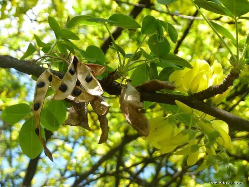 Štědřenec odvislý - plod a květ (Laburnum anagyroides)