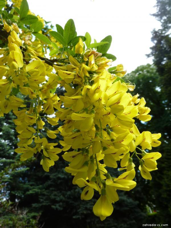 Štědřenec odvislý - květ (Laburnum anagyroides)
