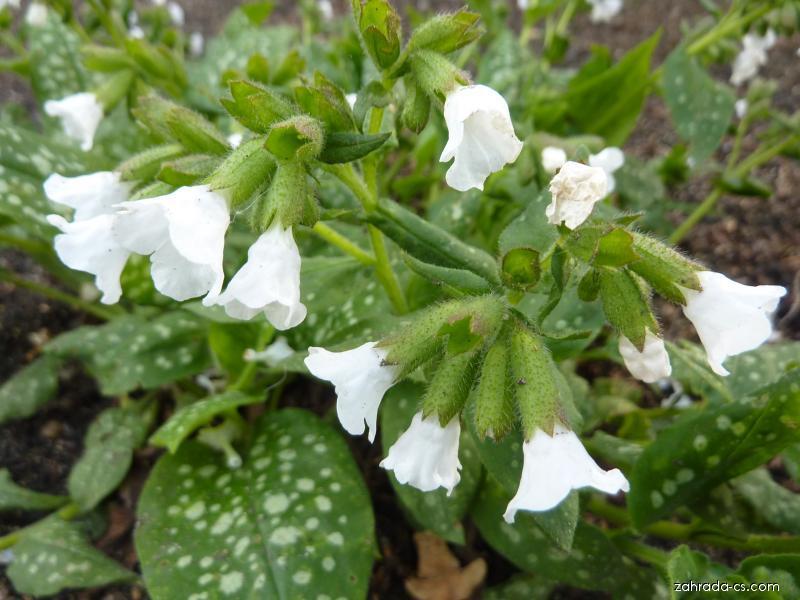 Plicník - květ (Pulmonaria)
