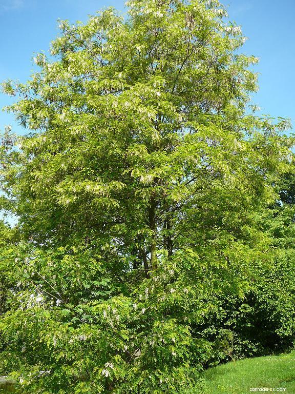 Akát bílý (Robinia pseudoacacia)