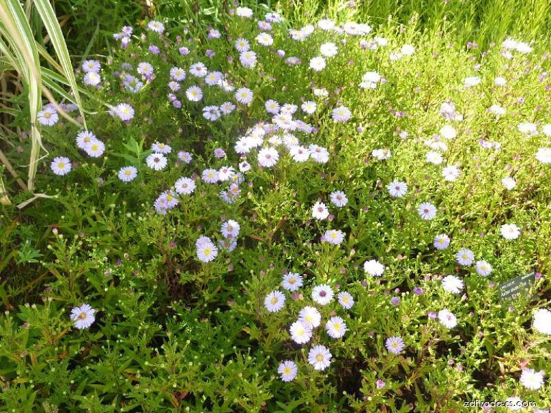 Hvězdnice hustokvětá - Aster dumosus Lilac Time