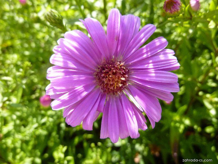 Hvězdnice novobelgická Little Pink Beauty - květ (Symphyotrichum novi-belgii)