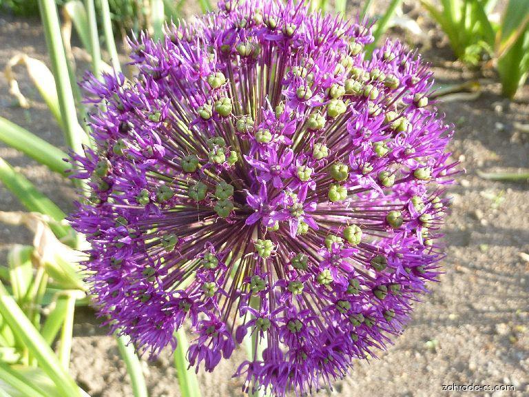 Česnek aflatunský - květ (Allium aflatunense)