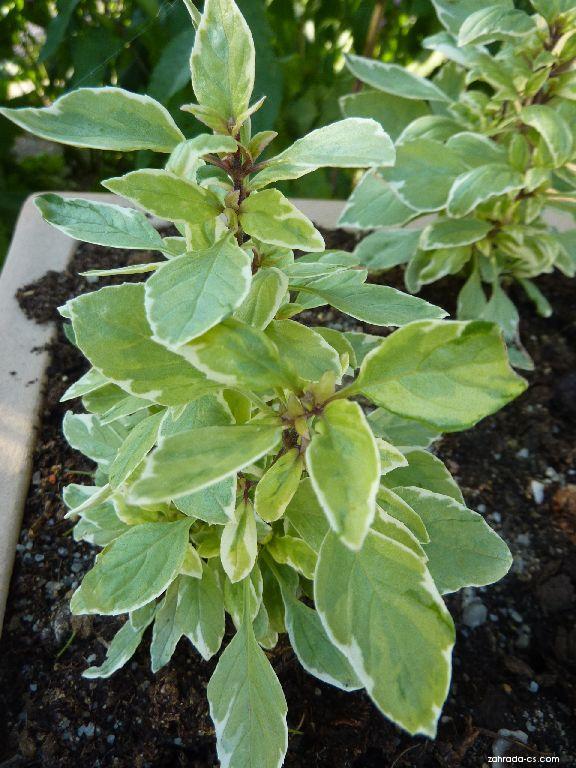 Bazalka pravá Pesto Perpetuo (Ocimum basilicum)