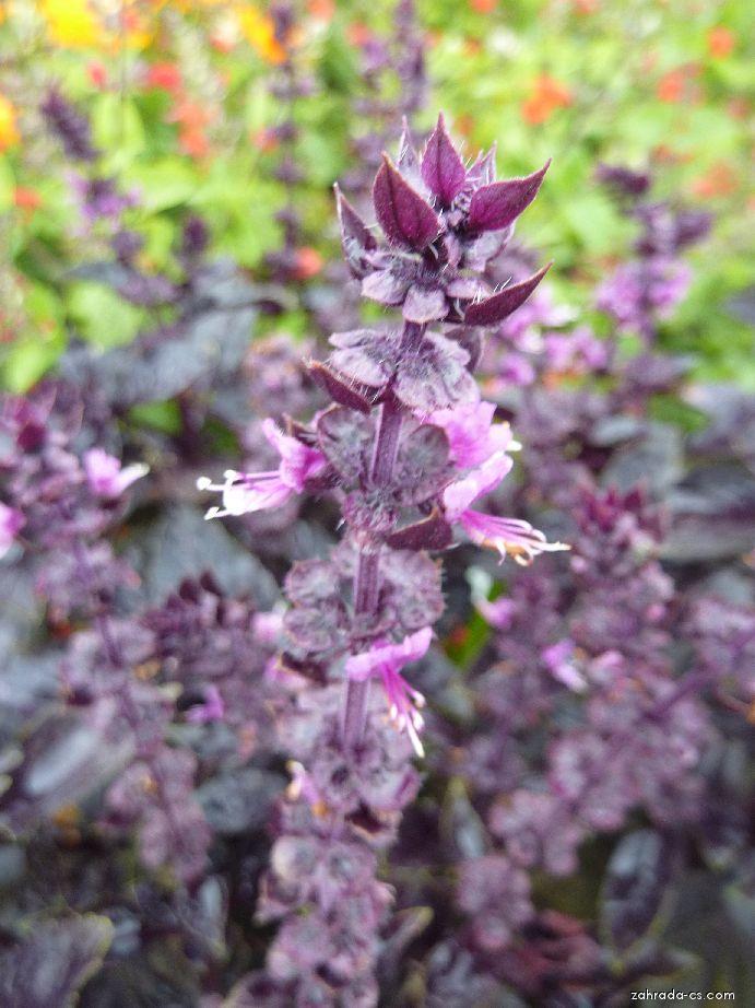 Bazalka pravá Red Rubin - květ (Ocimum basilicum)