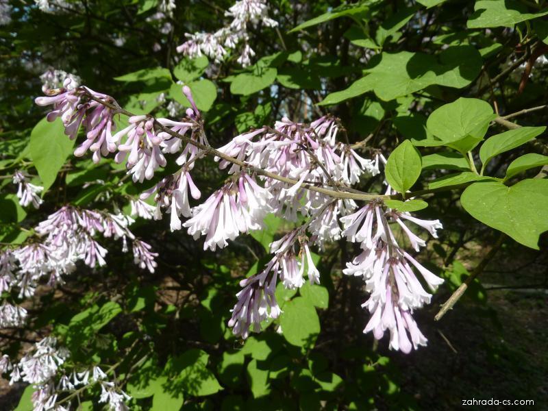 Šeřík japonský - květ (Syringa reticulata mandshurica)