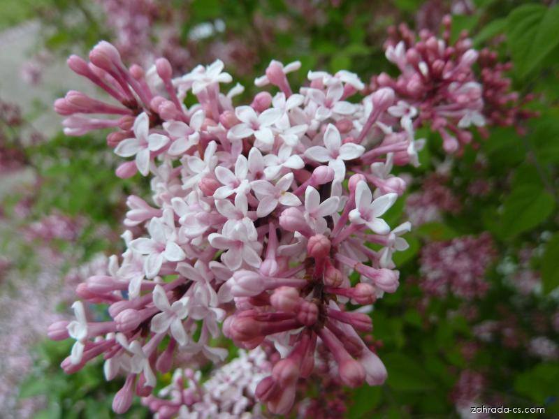 Šeřík Meyerův Palibin - květ (Syringa Meyeri)