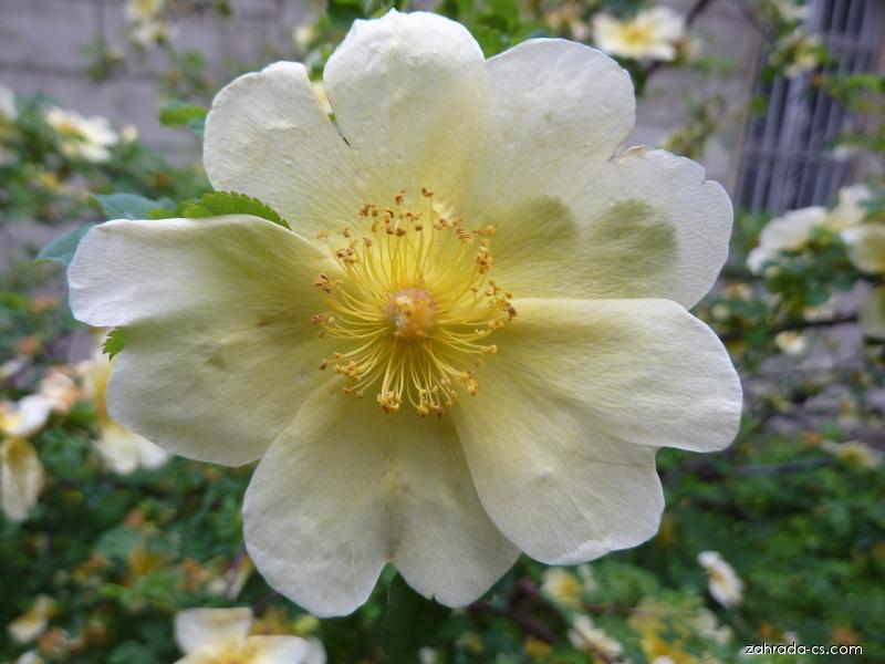 Růže žlutá - květ (Rosa xantina Lindl)