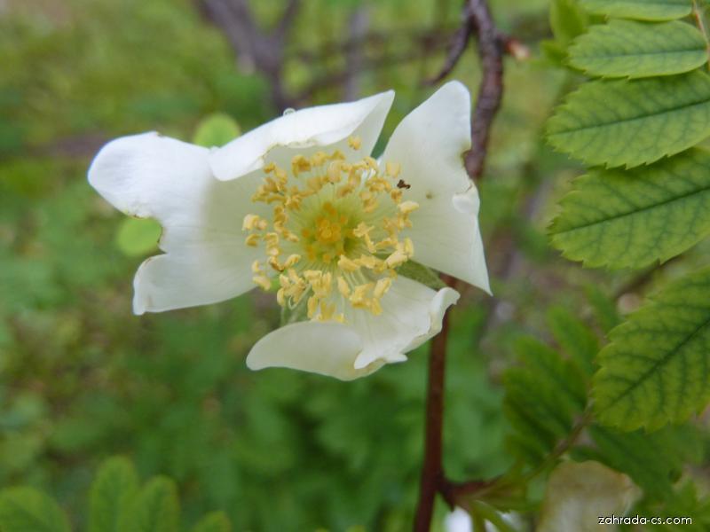 Růže čtyřplátečná - květ (Rosa tetrapetala)