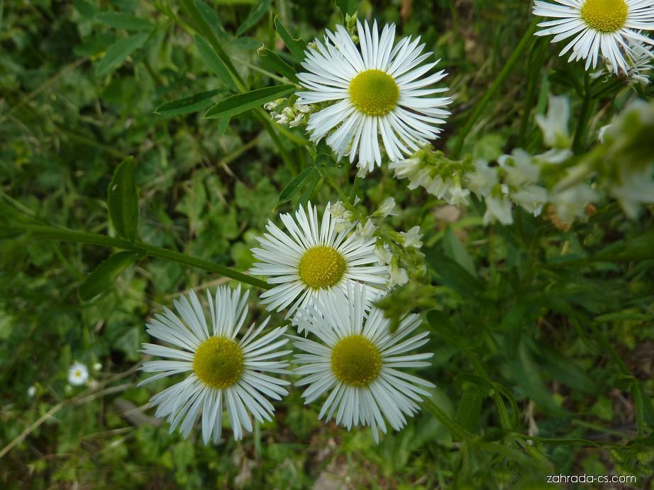 Turan roční (Erigeron annuus)